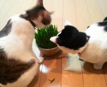 【再再送】猫草